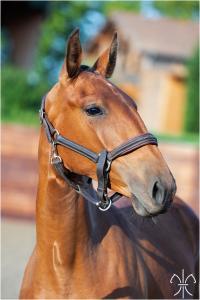 Photo cheval a vendre PHABULOUS DE LA GESSE